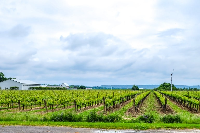 green vineyard lines in field in niagara on the lake wine tour