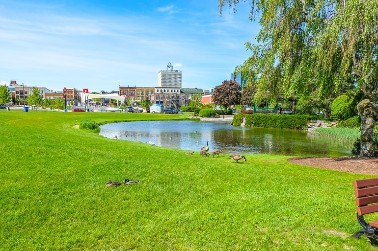 small pond with geese and city buildings behind barrie ontario