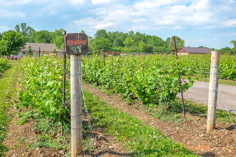 green leaves and poles of vineyard in prince edward county
