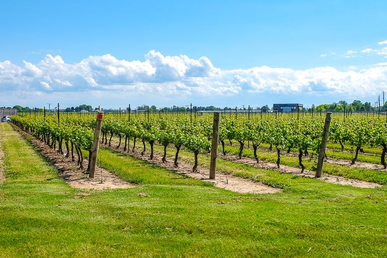 vineyard rows of grapes stretching into distance things to do in niagara on the lake winery