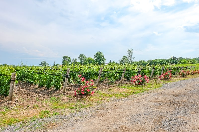 green rows of vineyard grapes with flowers things to do in prince edward county