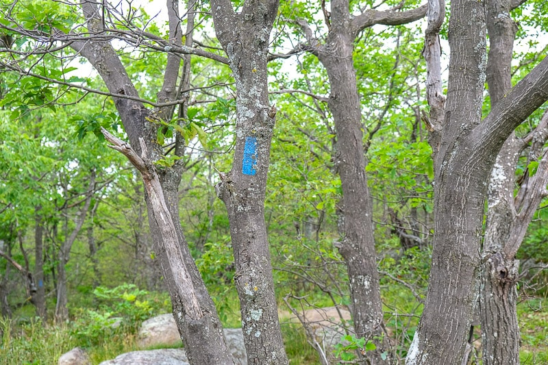 blue trail marker on tree with forest behind